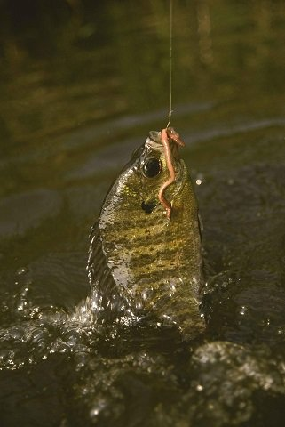 How to catch bluegills - Bluegill with a worm in his mouth