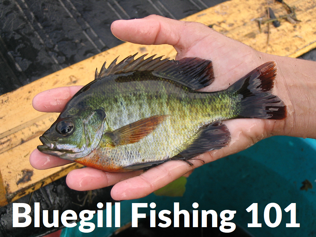 How To catch Bluegills: Bluegill Fishing 101