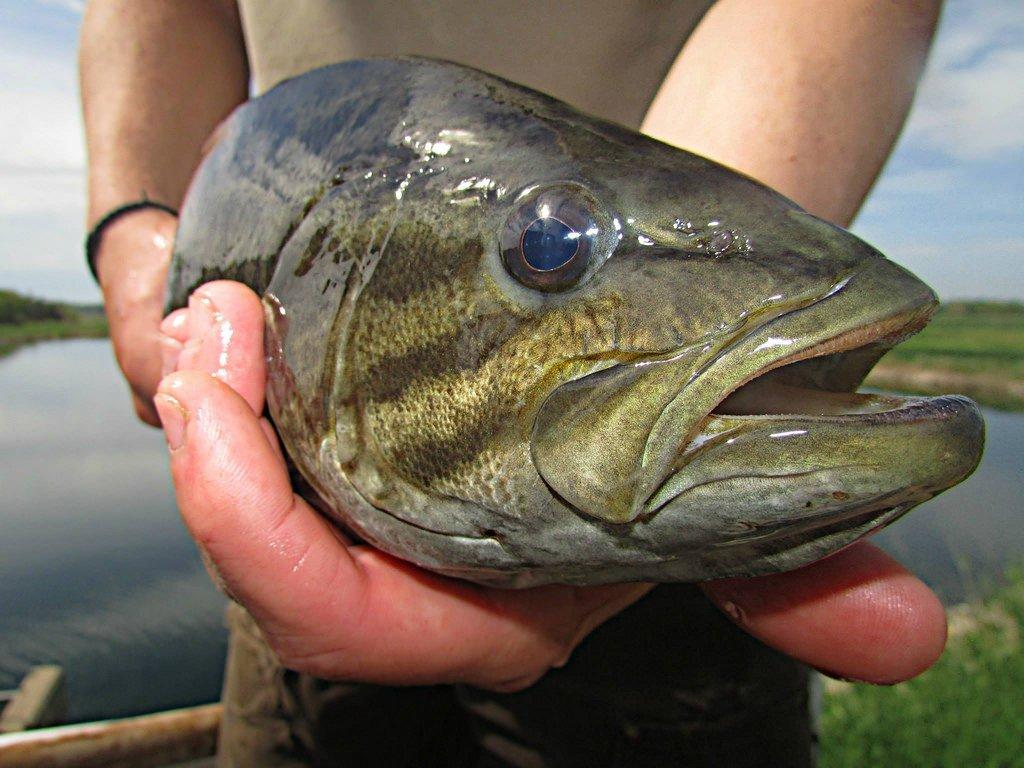 smallmouth bass - winter fishing